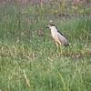 Black-crowned Night Heron, Arapaho NWR