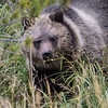 Grizzly Cub, Yellowstone NP