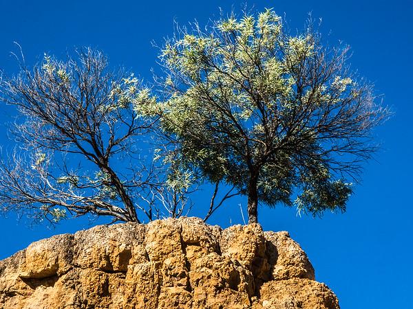 Desert Acacia