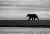 GrizzlySSC--022