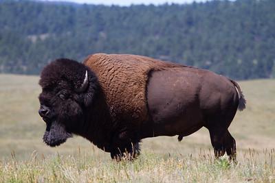 Bison on Wildlife Loop, Custer, SD-IMG_7915