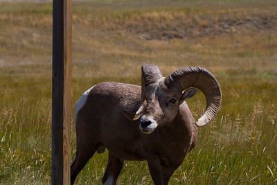 Bighorn sheep in Badlands-South Dakota 3-