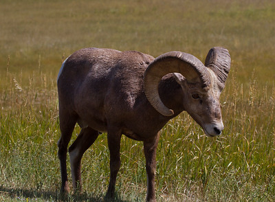 Bighorn Sheep in Badlands-South Dakota 2-