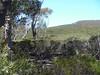 Casuarina nana heath - not possible to walk through