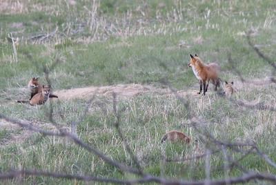Fox at SCNH with Kits