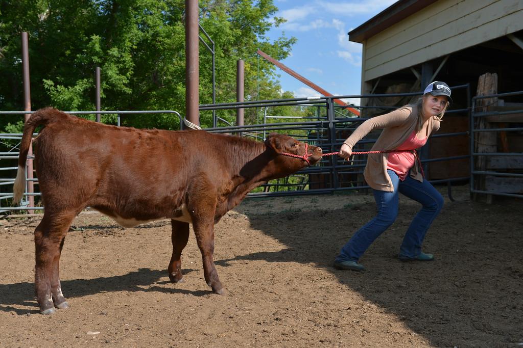Justin Sheely | The Sheridan Press<br /> Fourteen-year-old Sadie Koltiska just cannot get cooperation from show calf Herra last July at the Koltiska farm west of Sheridan.