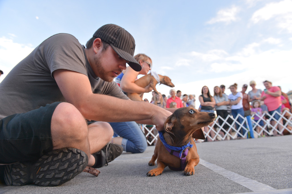 Justin Sheely | The Sheridan Press<br /> Tyler McKinley ties a colored scarf around Penny before a race during the Wiener Dog Races last June at Black Tooth Brewery.
