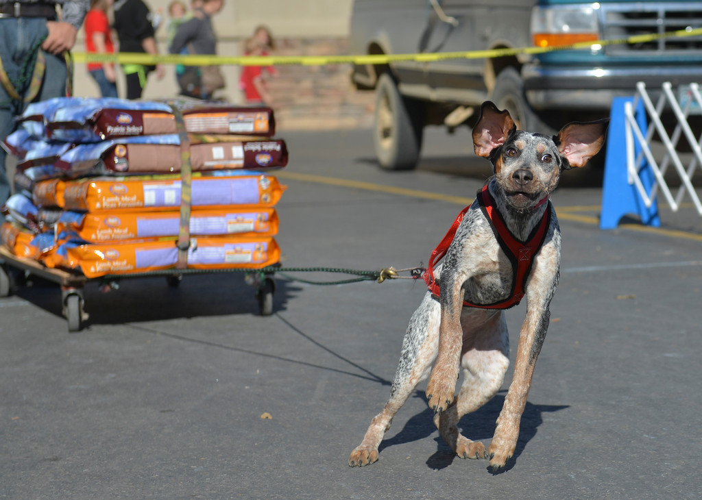 Justin Sheely | The Sheridan Press<br /> A dog pulls a wagon full of dog food weighing approximately 420-pounds during the fourth-annual Dog Weight Pull contest last October at Muddy Paw Prints Pet Supply.