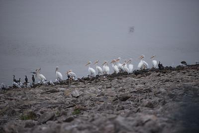 09-14-2016 pelicans at Elk City Lake