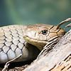 florida pine snake nonvenomous reptile closeup