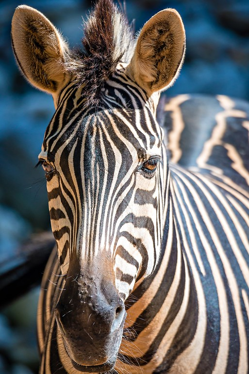 close-up portrait of a zebra animal at zoo
