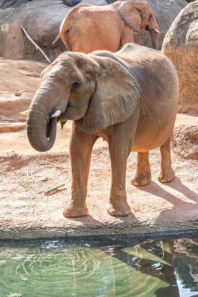 African Elephant (Loxodonta Africana) feeding time at the zoo
