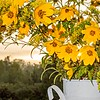 yellow flowers in white steel jar at sunrise