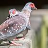 pair of Spekled pigeon or Feral pigeon (Columba guinea) on wood rail