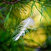 spruce pine branch with trapped feather