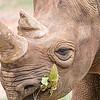 rhinoceros enjoying on green grassy meadow