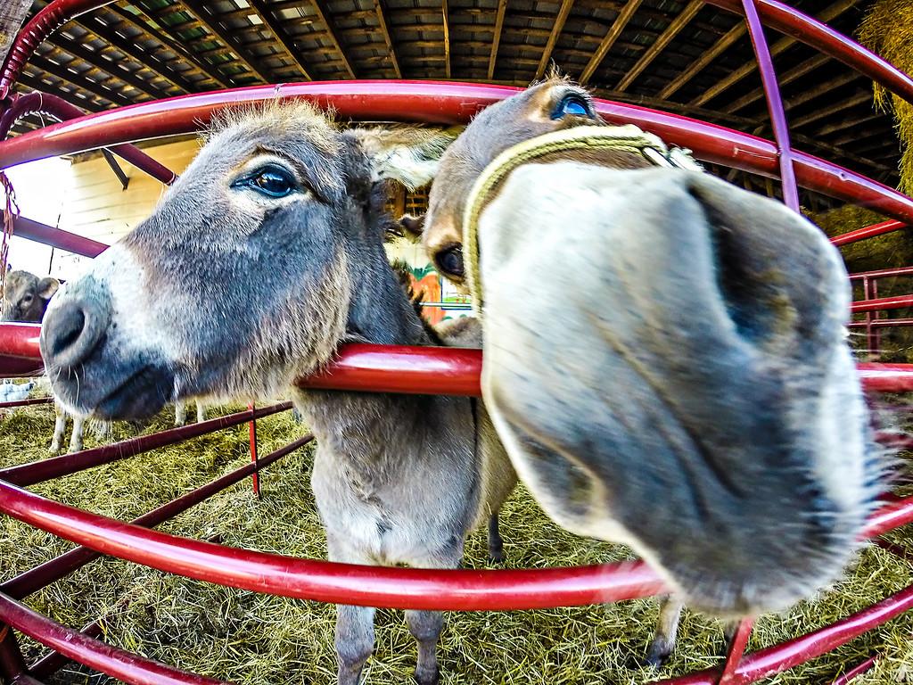 funny donkey at the farm