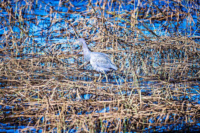 blue heron fishing in wetlands