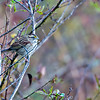 sparrow on tree branch in bushes