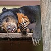 malayan sun bear or honey bearsleeping
