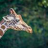 giraffe portrait profile with nature background