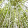 wild green bamboo forest looking up