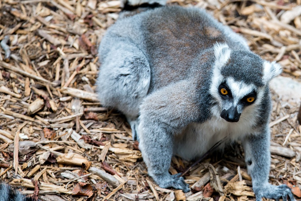 Closeup of a ring tailed lemur (Lemur catta)