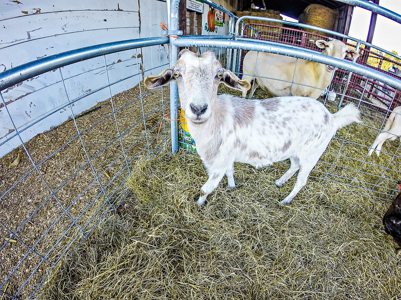 funny goat behind fence at the farm
