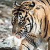 siberian tiger closeup at the zoo