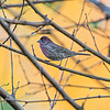 purple finch bird sitting on tree branch with yellow background