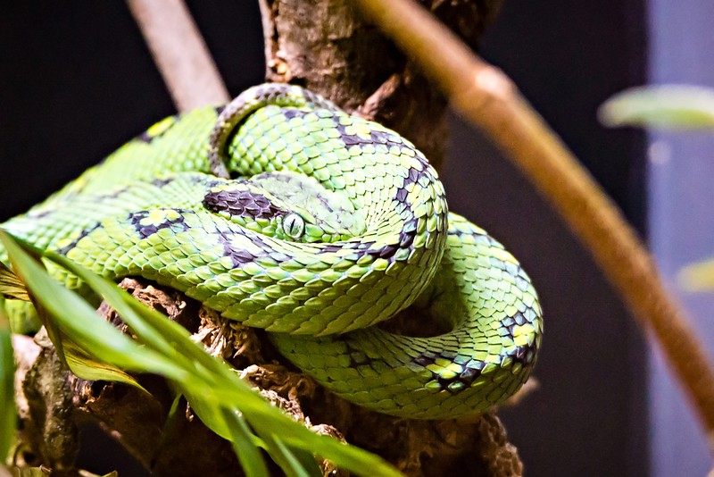 green snake waiting forprey on a branch