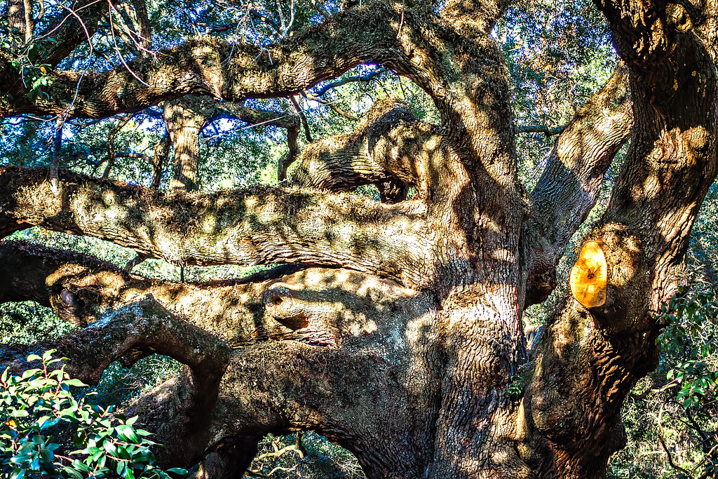 Large southern live Angel Oak Tree on John's Island, South Carolina, charleston