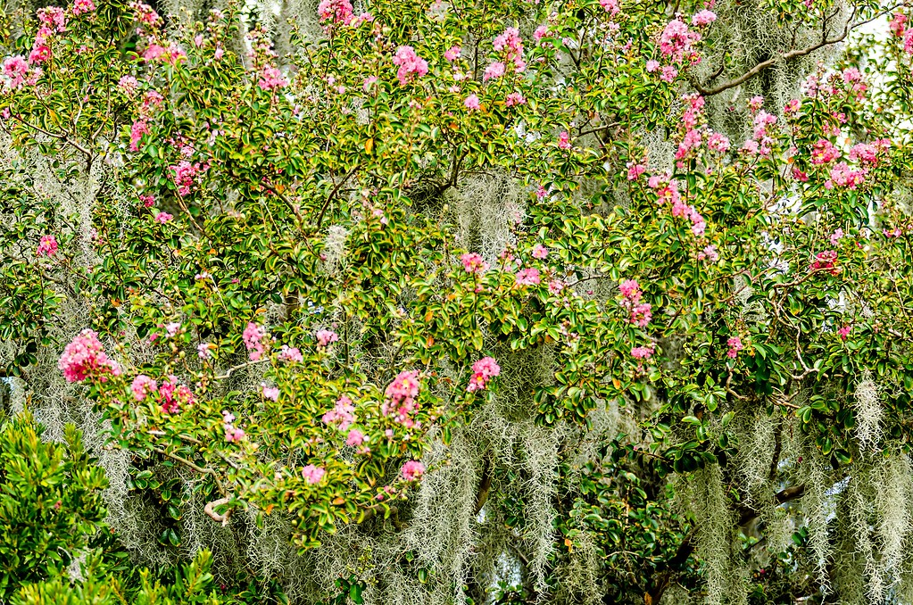 azalea bushes covered in spanish moss