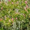 azalea bushes covered in spanish moss