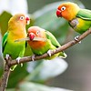 Colorful yellow parrot Sun Conure (Aratinga solstitialis) standing on the branch