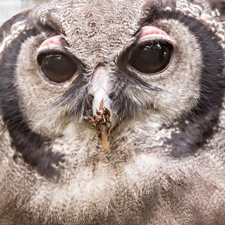 Bubo lacteus, also known as Giant or Milky Eagle Owl