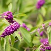 Florida Native Beauty Berry abstract