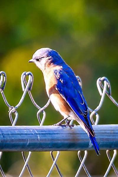 Male Eastern Bluebird (Sialia sialis) on a chainlink fence