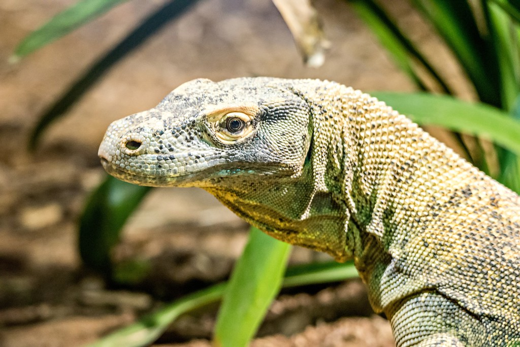 portrait of dragon lizzard at a zoo