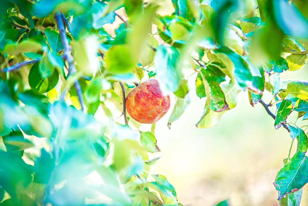 apple tree orchard before harvest