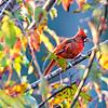 Northern Cardinal Cardinalis cardinalis perched on a branch