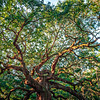Angle Oak Tree in Johns Island of South Carolina