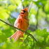 Male Northern Cardinal (Cardinalis cardinalis) north carolina bird