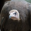 vulture in a detailed portrait at a zoo