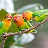 Lovely sun conure parrot birds on the perch. Pair of colorful sun conure parrot birds interacting.