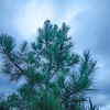 spruce pine tree agains evening gliding clouds