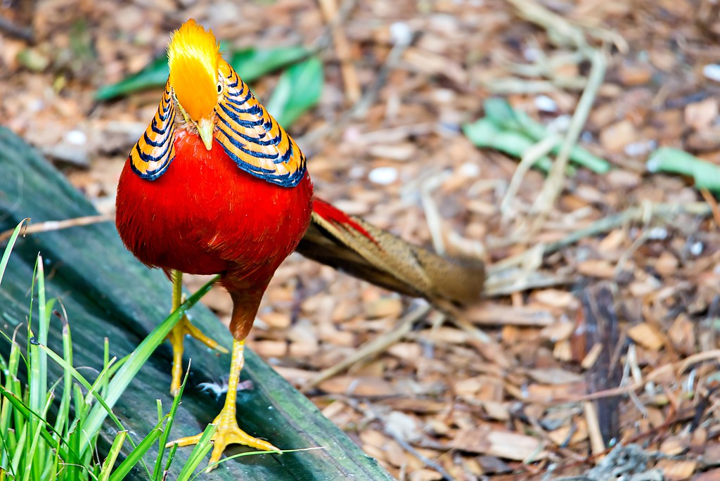 Golden pheasant Chinese pheasant Chrysolophus Pictus