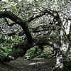 Angel Oak Tree on John's Island South Carolina