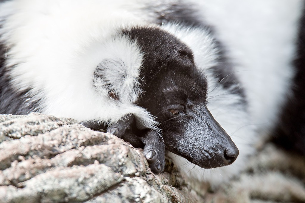 black and white lemur Vari (ruffed lemur) in the forest of zoo