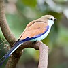 Racket-tailed Roller (Coracias spatulatus) perched on branch